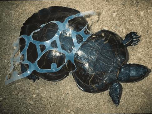 Turtle trapped between beer bindings