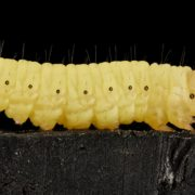 Wax Worms Blog Image